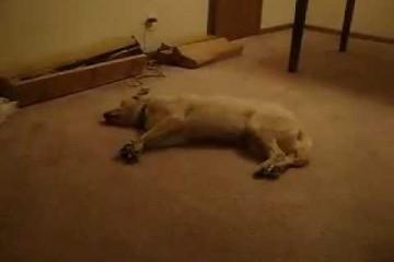 Bizkit-the-Sleep-Walking-Dog